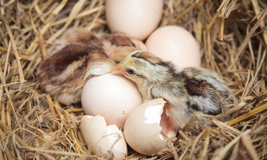 How-do-chicks-break-eggshell.jpg