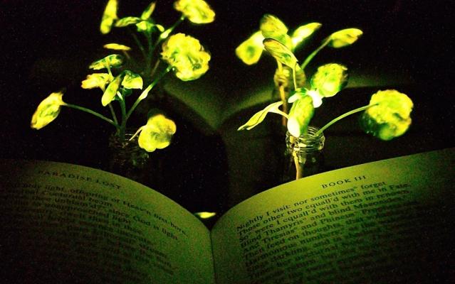 mit-glowing-plants_0-639x400.jpg