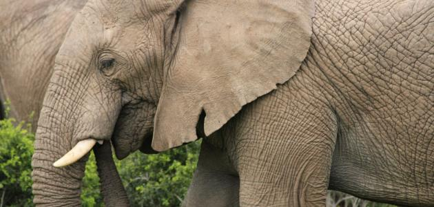ماذا_يأكل_الفيل.jpg