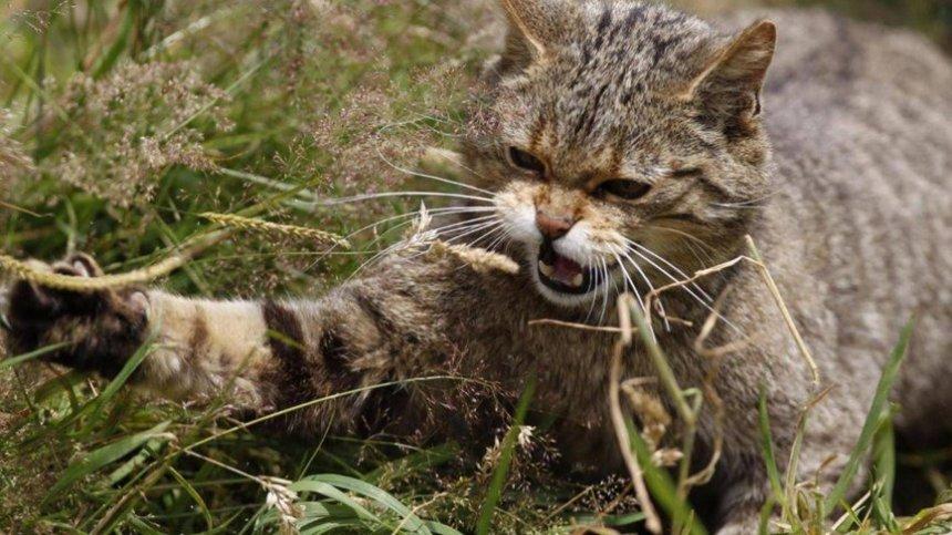 القط الشرس.jpg